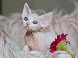 Кошки - Котята Девон Рекс, 0