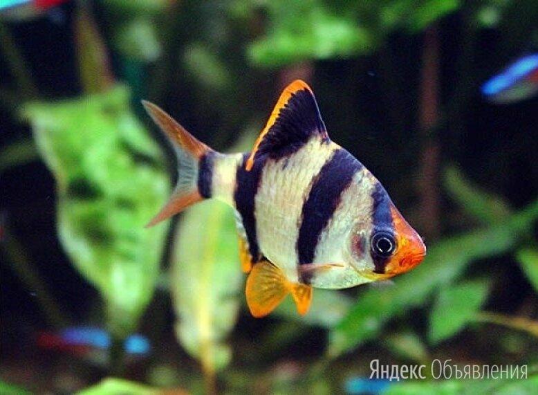 БАРБУС СУМАТРАНСКИЙ - ЗАМОРОЖЕННЫЕ И СУХИЕ КОРМА по цене 60₽ - Аквариумные рыбки, фото 0