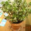 Крассула-денежное дерево. по цене 5500₽ - Комнатные растения, фото 4