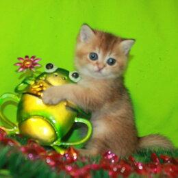 Кошки - Золотой шиншилленок, 0