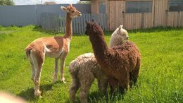 Сельскохозяйственные животные - Лама Альпака, 0