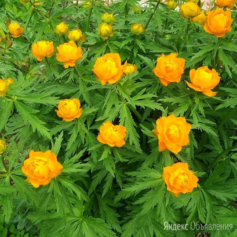 Купавка садовая. по цене 150₽ - Рассада, саженцы, кустарники, деревья, фото 0