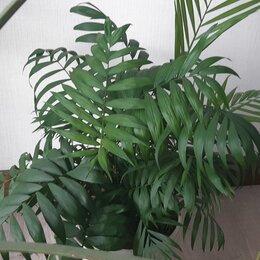 Комнатные растения - Пальма Хамедорея, 0