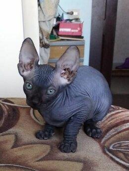 Кошки - Котенок канадского сфинкса, 0