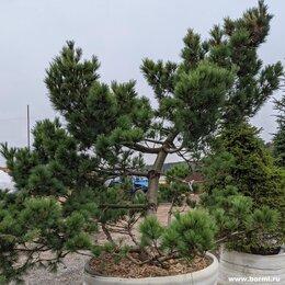 Рассада, саженцы, кустарники, деревья - Сосна веймутова 'Радиата', 0