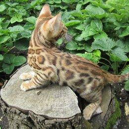 Кошки - Породистые бенгальские котята от питомника ЮШЕРУС, 0