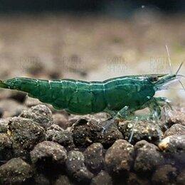 Аквариумные рыбки - Креветки Green Jade Extreme темно Зеленые неокаридинаы, чистая Германская линия, 0