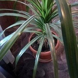 Комнатные растения - Панданус или винтовая пальма, 0