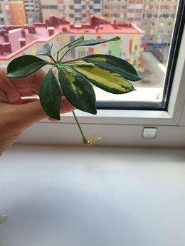Комнатные растения - Шефлера, 0