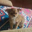 Мини девочка чихуахуа по цене 6000₽ - Собаки, фото 3