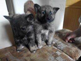 Собаки - Продам щенков западносибирской лайки, 0