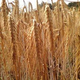 Семена - Продам семена озимая рожь - сорт ЯНТАРНАЯ, 0