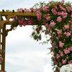 Саженцы плетистой розы Утигорд Фоллс, корнесобственные, ЗКС, бесплатная доставка по цене 890₽ - Рассада, саженцы, кустарники, деревья, фото 2