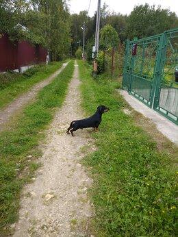 Услуги для животных - Такса кобель для вязки РКФ., 0