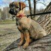 Ласковая, трепетная, Любвеобильная, Щенуля , ищет Добрую Семью по цене даром - Собаки, фото 1