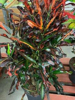 Комнатные растения - Кротон Кодиеум Мамми Н 110-120 см, 0