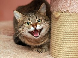 Кошки - Специальное предложение! Кошка Редиска в добрые…, 0