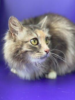 Кошки - Пушистая Сибирская красота в добрые руки , 0