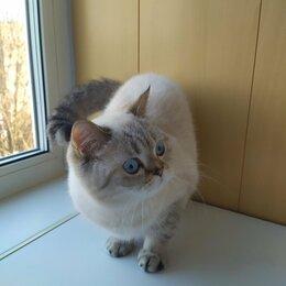 Кошки - Кошечка Скоттиш, 0