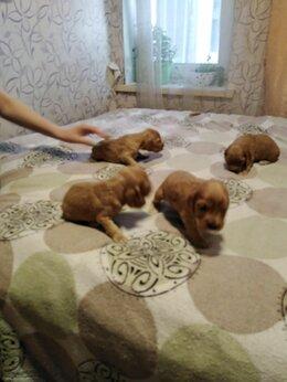 Собаки - Продам щенят кокер спаниеля , 0
