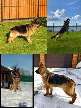 Собаки - Шикарные щенки немецкой овчарки , 0