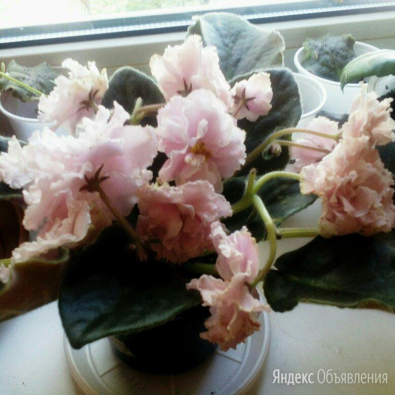 Комнатные цветы по цене 100₽ - Цветы, букеты, композиции, фото 0