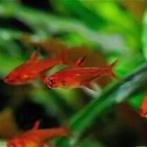 Аквариумные рыбки - Hyphessobrycon amandae, 0