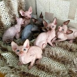 Кошки - Канадский сфинкс котята, 0