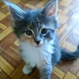 Кошки - Чистопородные Мейн-кунята, 0