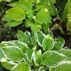 САДОВЫЕ РАСТЕНИЯ И КУСТАРНИКИ по цене 150₽ - Рассада, саженцы, кустарники, деревья, фото 11