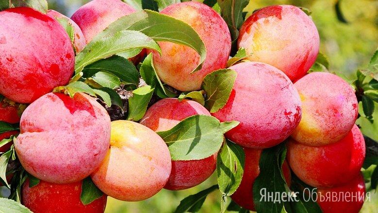 слива персиковая и др. саженцы по цене 850₽ - Рассада, саженцы, кустарники, деревья, фото 0
