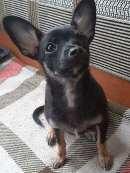 Собаки - Продам щенка.тойтерьер.4 месяца, 0