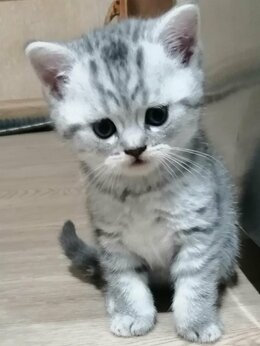 Кошки - Шатландские котята, 0
