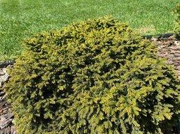 Ёлки живые - Ель обыкновенная Литтл Джем | Picea abies Little…, 0