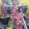 Саженцы кедр, пихта, орех маньчжурский и др по цене 200₽ - Рассада, саженцы, кустарники, деревья, фото 5