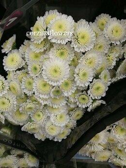 Цветы, букеты, композиции - Хризантема кустовая Сталлион белая срезка, 0