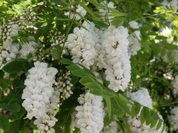 Рассада, саженцы, кустарники, деревья - акация белая и др. саженцы, 0