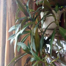 Комнатные растения - Продаю цветок Рео, 0