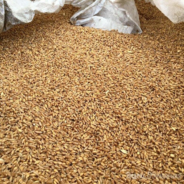 Продам пшеницу фуражную по цене 19₽ - Семена, фото 0