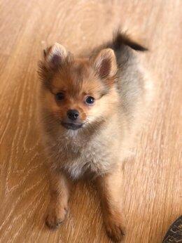 Собаки - Немецкий шпиц мини , 0
