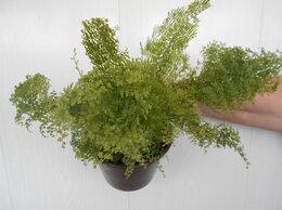 Комнатные растения - Папоротник махровый, 0