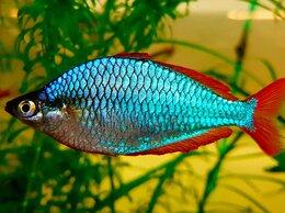 Аквариумные рыбки - Меланотения радужница неоновая, 0
