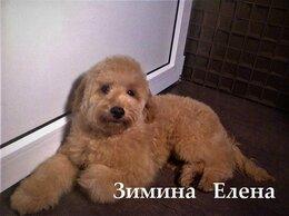 Собаки - Мальчик малого (среднего ) пуделя, 0