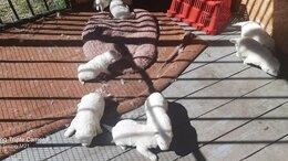 Собаки -  Щенки маремма абруцкая овчарка , 0