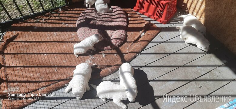 Щенки маремма абруцкая овчарка  по цене 20000₽ - Собаки, фото 0