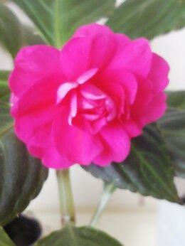 Комнатные растения - Бальзамины махровые для дома и дачи, 0