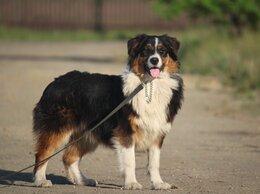 Собаки - Австралийская овчарка. Девочка, 0