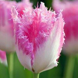 Луковичные растения - Луковицы тюльпанов , 0
