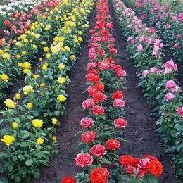 Рассада, саженцы, кустарники, деревья - Саженцы роз по доступным ценам оптом и в розницу, 0