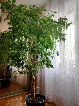Комнатные растения - Фикус большой, 0